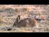 European hare / Заяц-русак / Lepus europaeus